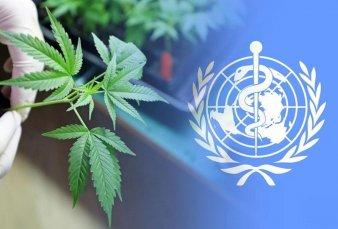La OMS propone eliminar el cannabis del listado de drogas peligrosas