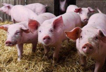 Por la peste porcina, no habrá cerdos en la Rural