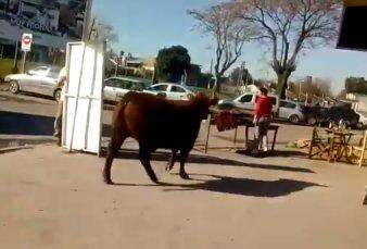 """Toro suelto en Los Polvorines dejó inconsciente a una mujer - """"Me dijeron que la saqué barata"""""""