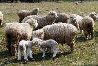 Entre Ríos: impulso a productores de ganado ovino