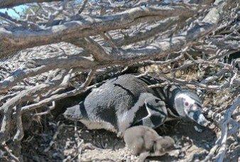 En Punta Tombo hay 30% más de turistas y se espera un récord de pingüinos