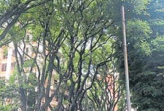 """Florecieron las tipas, los árboles que """"lloran"""" en las calles porteñas"""