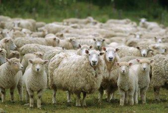 Anuncian primera exportación de producción ovina a China
