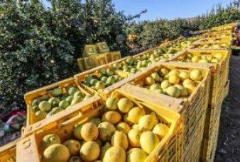 Suspenden temporalmente venta de limones a la UE