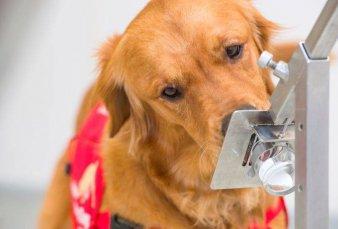 La UBA entrena perros para que puedan detectar coronavirus a través del olfato