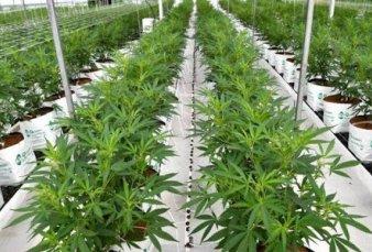 De las naranjas al cannabis: San Pedro busca un nuevo polo de atracción