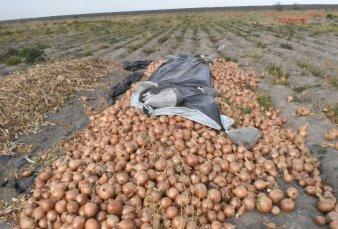 Se perderán millones de kilos de cebolla en el sur bonaerense